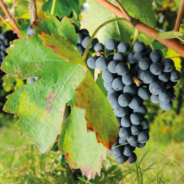 vitigno taurasi